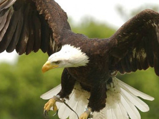 Eagle at Groombridge Place