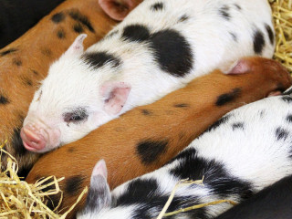 Piglets at Blackberry Farm