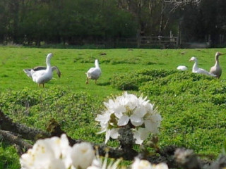 Geese & Blossoms
