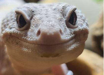 Smiling grey lizard