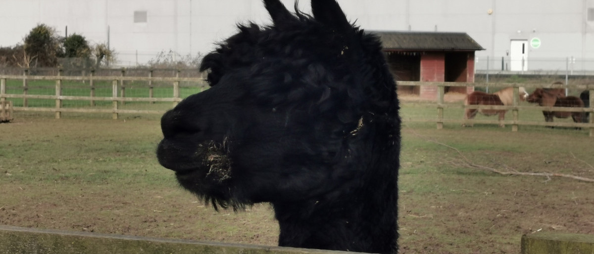 Photo of Black Alpaca